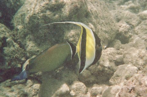 and saw a lot of my favorite fish, the Moorish Idol